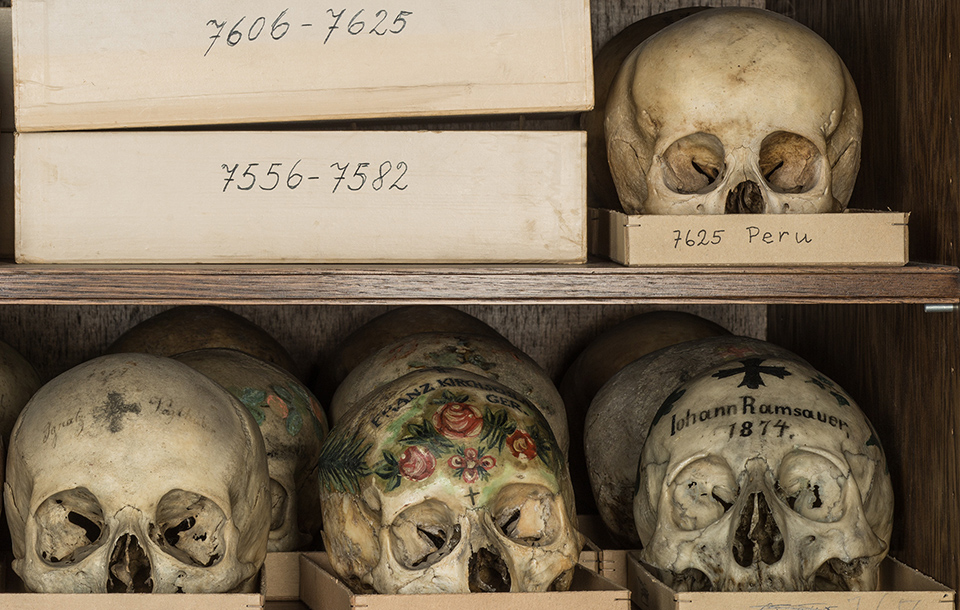the Vienna Natural History Museum's skull collection Photo of skulls on a shelf