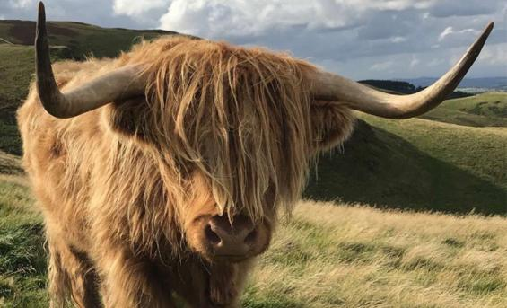 Photo of a highland cow taken on the Pentland Hills to the south of Edinburgh